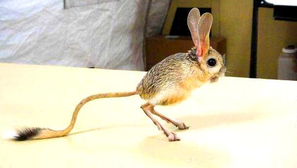 gerbo canguro australiano