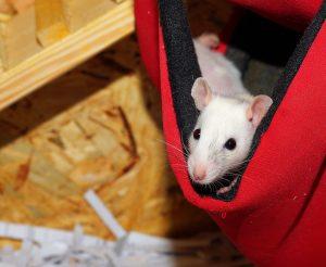 Rata similar a unos gerbos