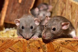 Ratones parecidos a gerbos
